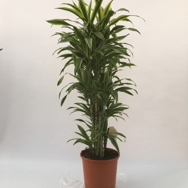 Pianta di Dracaena fragrans Lemon Lime