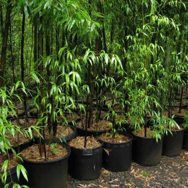 Phyllostachys nigra bambu vivai frappetta - Canne bambu in vaso ...
