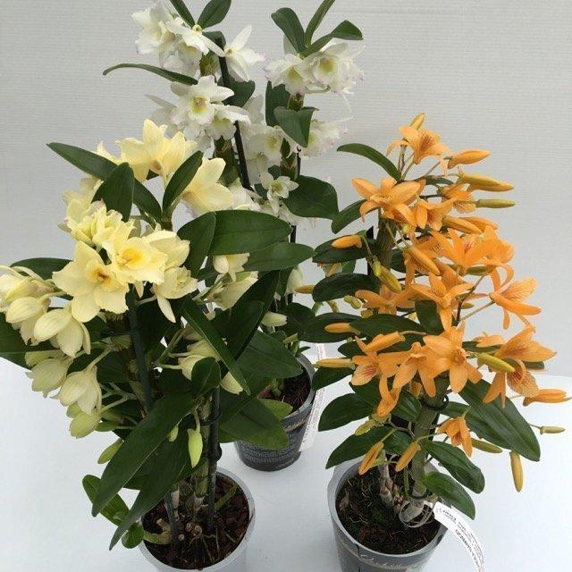 Dendrobium orchidea bamboo vivai frappetta for Vaso orchidea