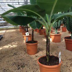 Musa acuminata 'Dwarf Cavendish' - Banano