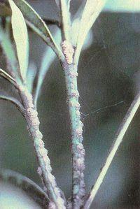 Oleandro con Fumaggine originatasi sulla melata degli Afidi