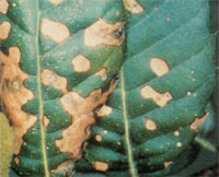 Foglie di Leccio con necrosi prodotte da Elsinoe Quercus-ilicis.