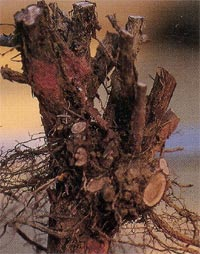 Lavanda attaccata da marciume radicale Rosellinia necatrix.