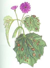 Cineraria con attacco di Peronospora (Bremia lactucae)