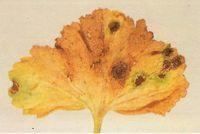Geranio attaccato da Ruggine (Puccinia pelargonii-zonalis)
