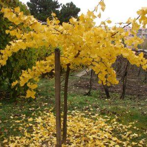 Ginkgo biloba (=Salisburia adiantifolia) 'Pendula' – GINKGO, GINCO