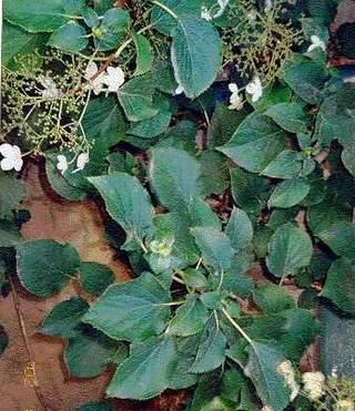 Ortensia rampicante hydrangea petiolaris vivai frappetta - Ortensia rampicante petiolaris ...