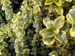 10428_01 Euonymus japonicus Aureomarginatus