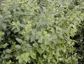 10526_01 Ligustrum sinensis