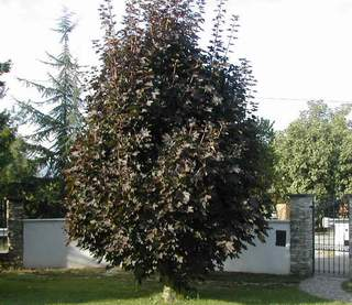 Acer platanoides acero riccio acero di norvegia vivai for Acero riccio