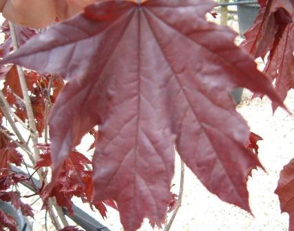 Vivaio Acero Rosso : Acer platanoides acero riccio; acero di norvegia vivai frappetta