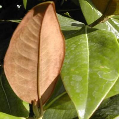 12263_02 Magnolia grandiflora Gallisoniensis
