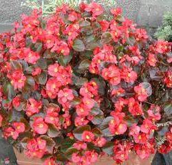 12825_01 Begonia semperflorens