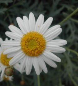 13228_01 Argyranthemum frutescens Margherita Camilla