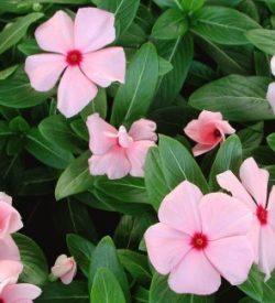 13259_01 Catharanthus roseus
