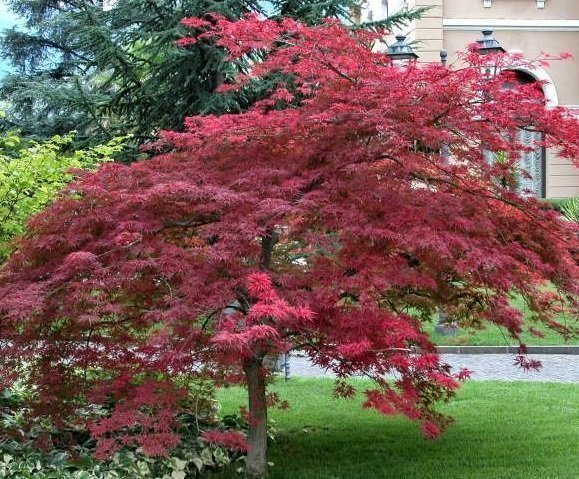 Beautiful Acer Palmatum ACERO GIAPPONESE