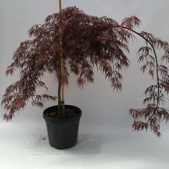 Acer palmatum acero giapponese vivai frappetta roma for Acero giapponese in vaso