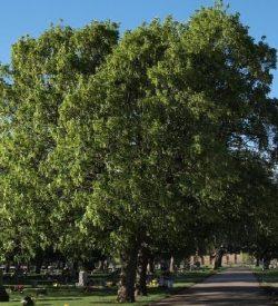 Primo piano di Acer pseudoplatanus Acero di Monte
