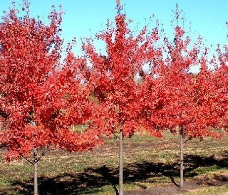 Acer rubrum acero rosso vivai frappetta for Piante secche ornamentali