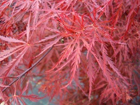 Vivaio Acero Rosso : Acero rosso acer rubrum vivaio coltivazione da una fessura nella