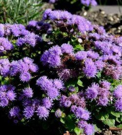 fioritura di ageratum houstonianum agerato