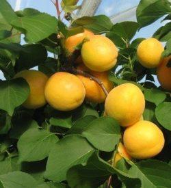 frutti di albicocco ninfa