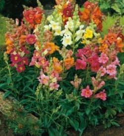 pianta di antirrhinum majus bocca di leone