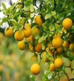 arancio amaro spinoso