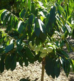 pianta con i frutti di banano del nord