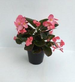 piantina in vaso di begonia gigante bronze leaf pink
