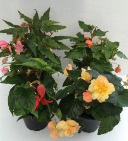 varie piantine di begonia tuberosa tuberhybrida
