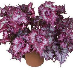 pianta in vaso di begonia rex