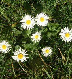 fiori di bellis perennis pratolina