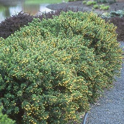 berberis buxifolia vivai frappetta. Black Bedroom Furniture Sets. Home Design Ideas