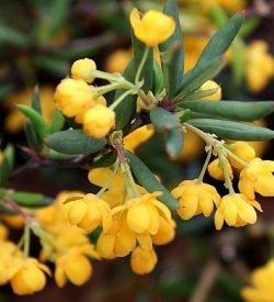 fiori di berberis x stenophylla