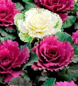 fiori di brassica oleracea cavolo ornamentale