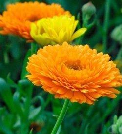 fiori di calendula officinalis