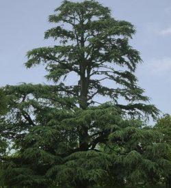 albero di Cedrus libani cedro del libano