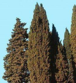 primo piano di albero di chamaecyparis lawsoniana cipresso di lawson