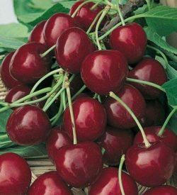 frutti di ciliegio bigarreau burlat