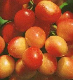 frutti di ciliegio bigarreau napoleon