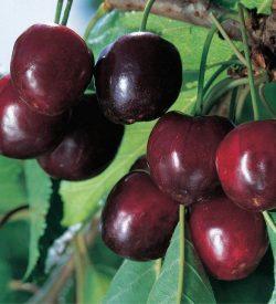 frutti di ciliegio durone di vignola II