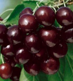 frutti di ciliegio mora di cazzano