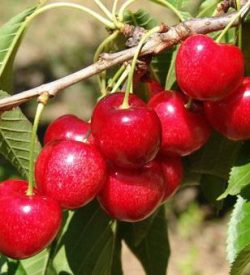 frutti di ciliegio sunburst