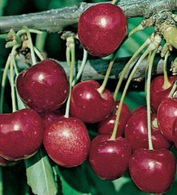 frutti di ciliegio stella
