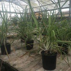 Citronella (Cymbopogon) esemplari di grandi dimensioni coltivati nei Vivai frappetta e pronti per la vendita