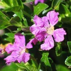 particolare dei fiori di cuphea hyssopifolia cufea