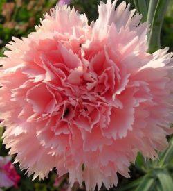 particolare del fiore di dianthus caryophyllus