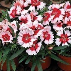 fiori di dianthus chinensis garofano