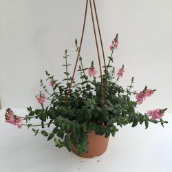 pianta di diascia vigilis sundiascia blush pink in vaso